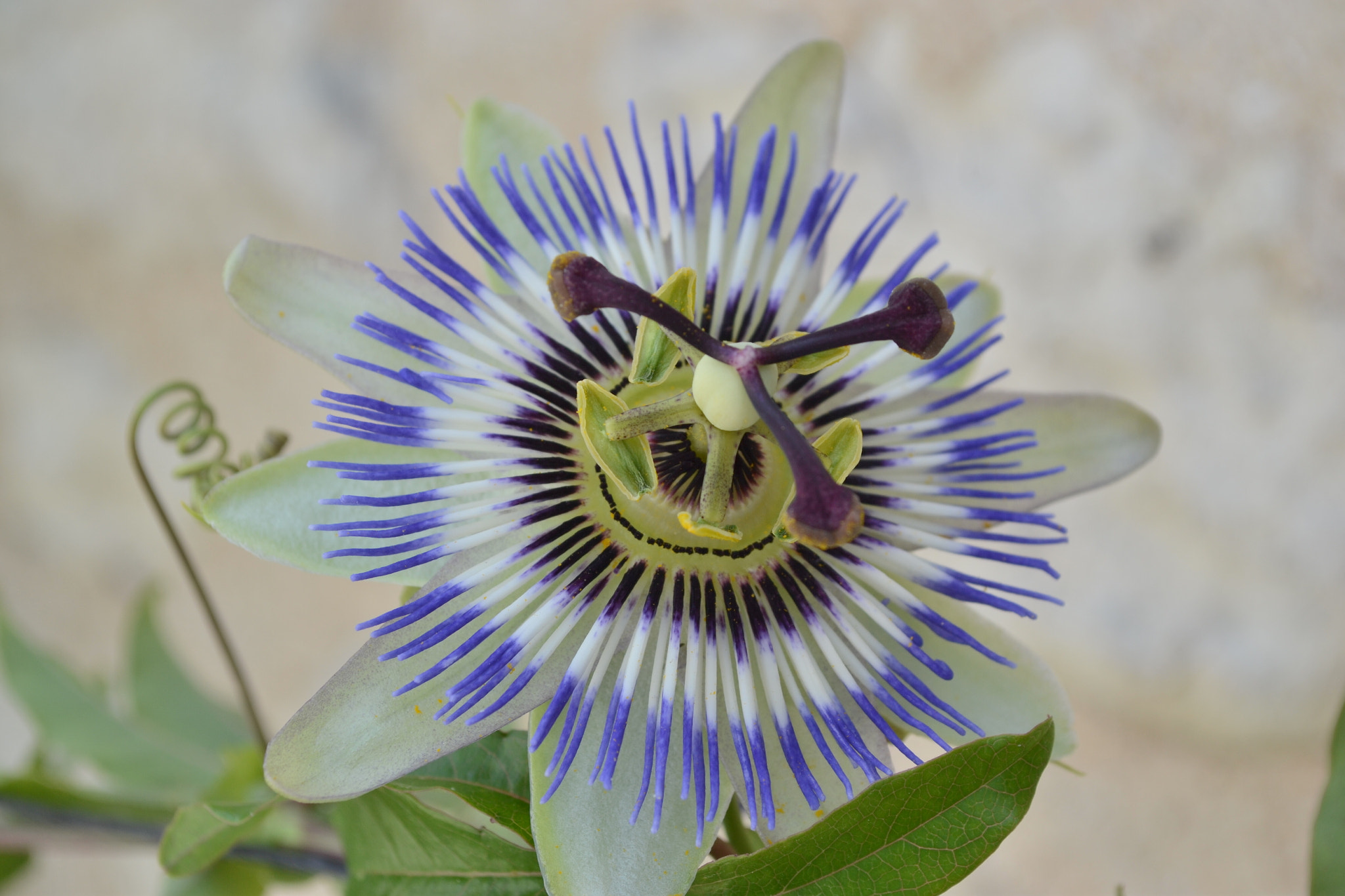 Photograph Passionflower by Heather Aplin on 500px
