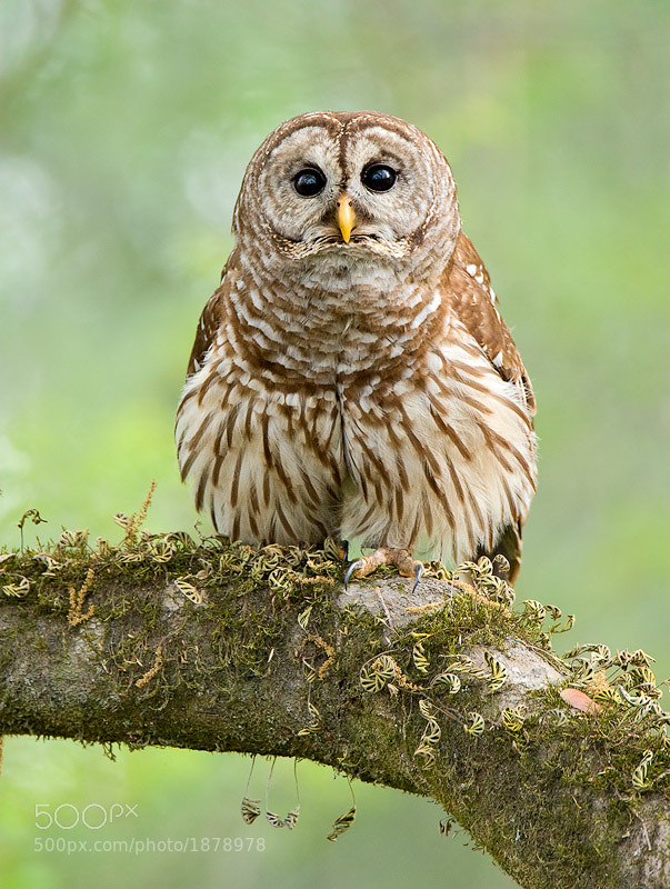 Photograph Barred Owl by David Chauvin on 500px