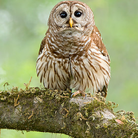 Barred Owl by David Chauvin (davidchauvin)) on 500px.com