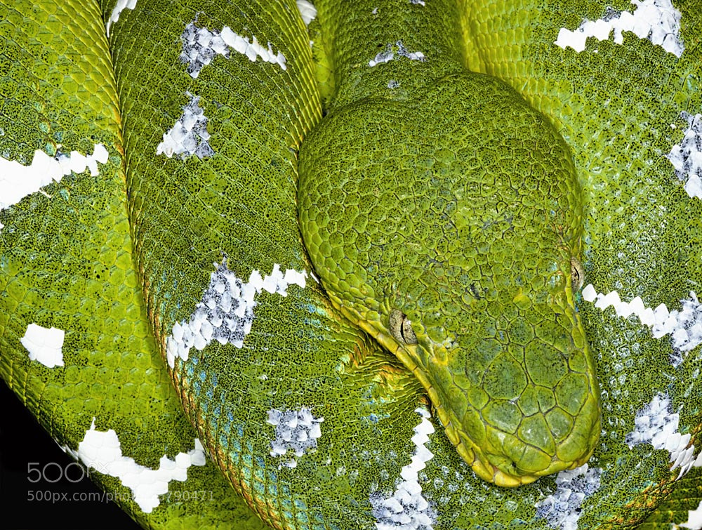Photograph Emerald Tree Boa by Bob Jensen on 500px