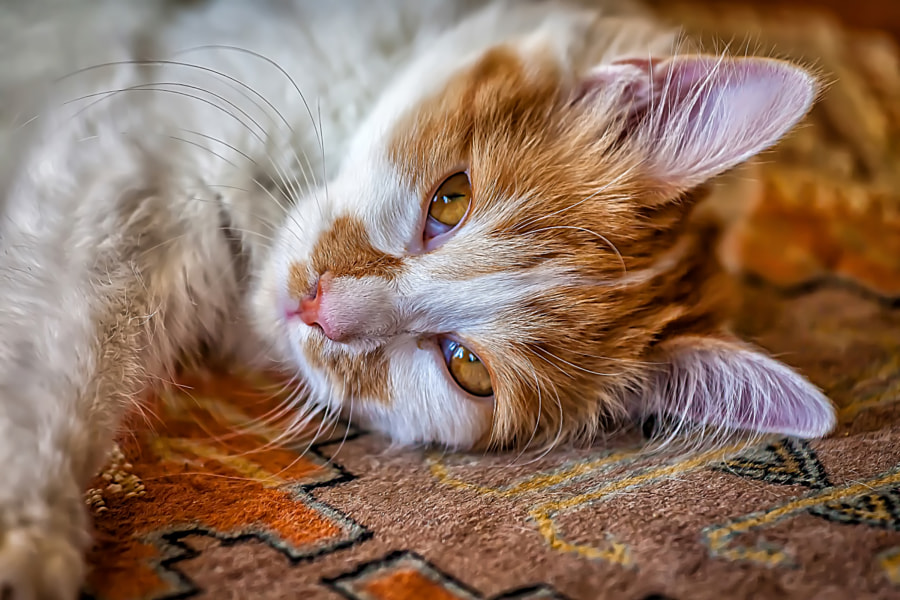 Orange Cat by Eleni Synodinos on 500px.com