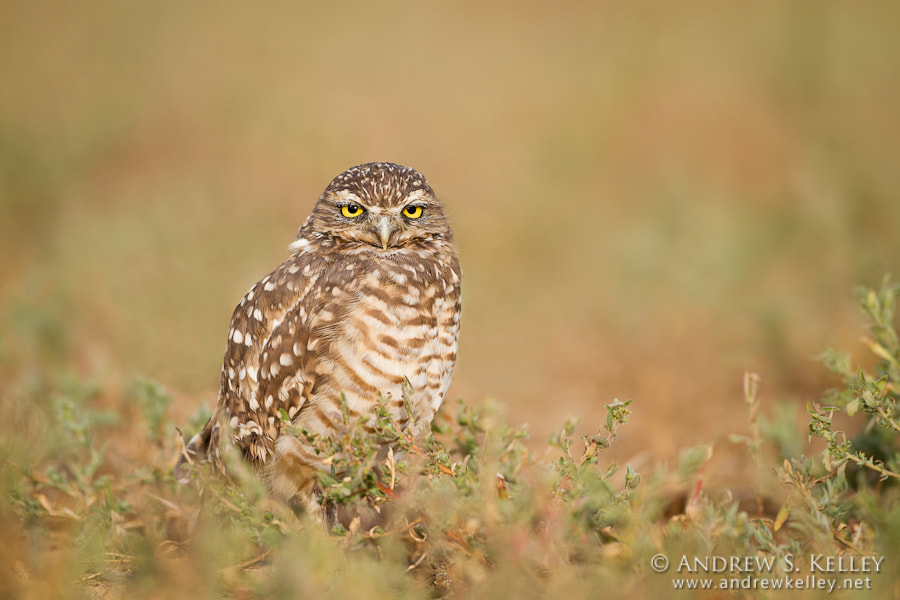 Photograph Western Burrowing Owl by Andrew Kelley on 500px