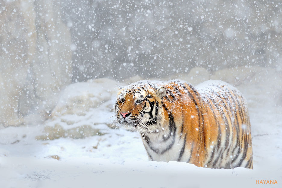 Photograph Siberian tigers and snow by Ryu Jong soung on 500px