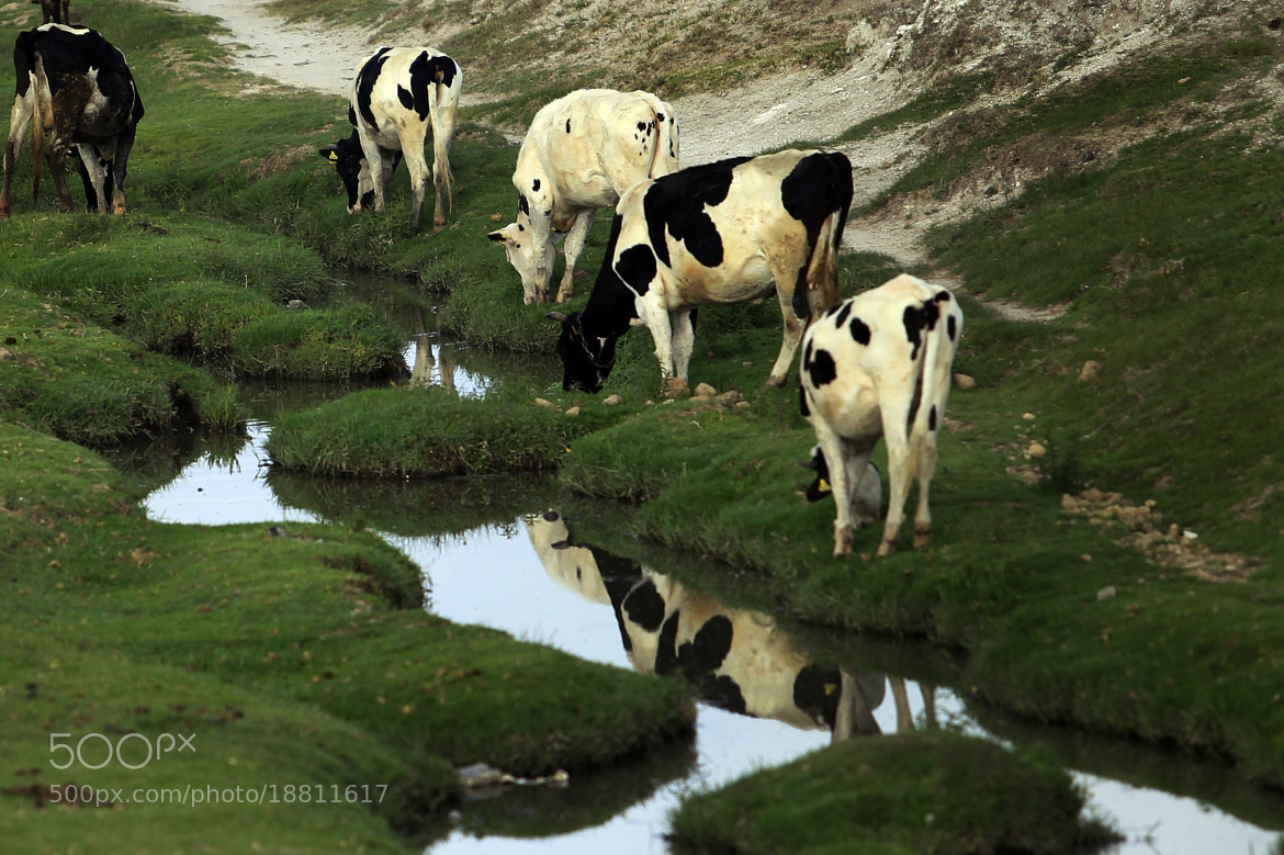 Photograph Cows and reflections by Cristobal Garciaferro Rubio on 500px