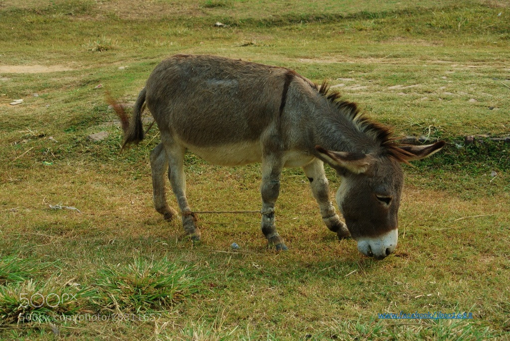 Photograph donkey by Ru Wu on 500px
