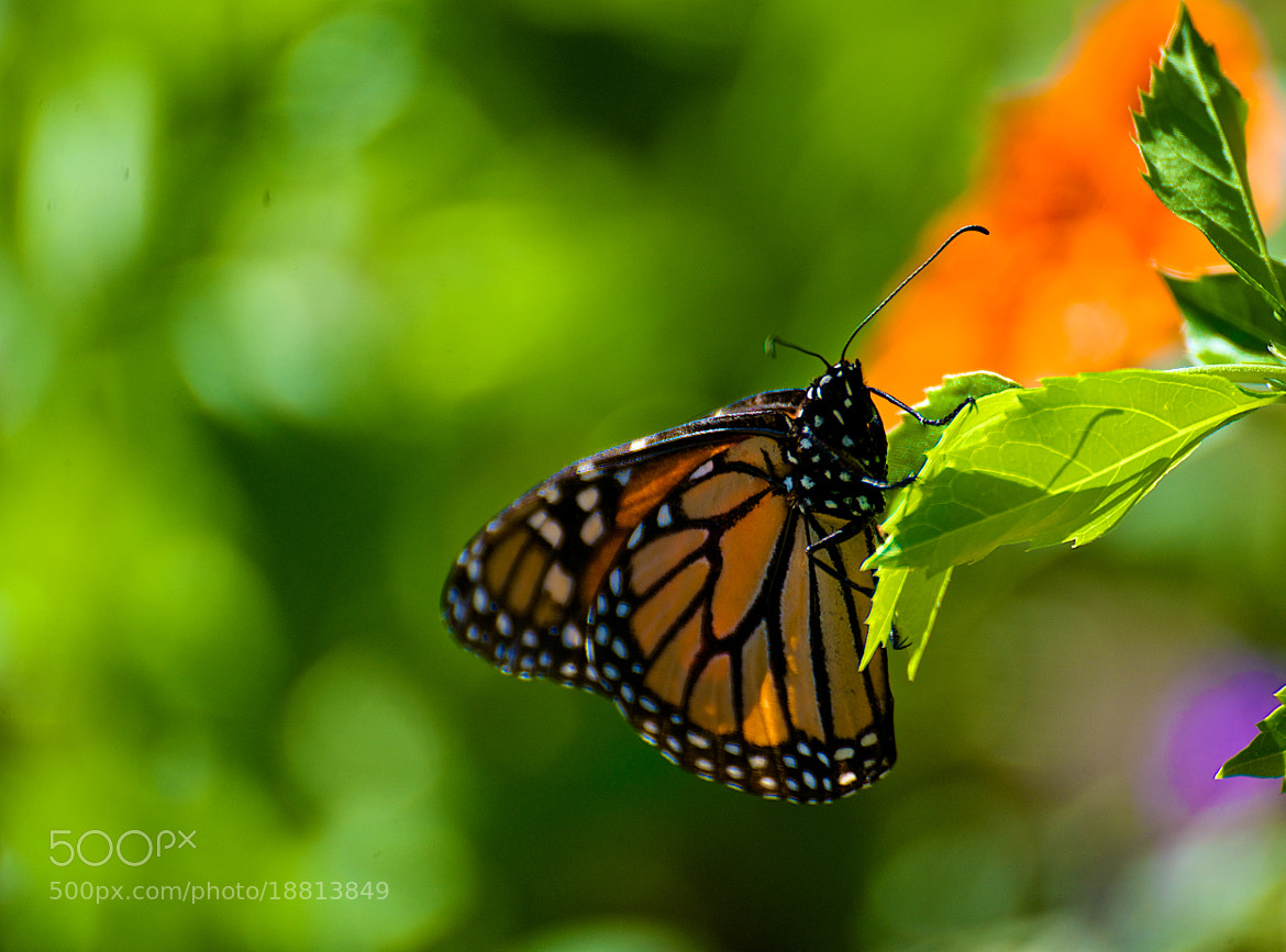 Photograph Monarch by Jaganath Achari on 500px