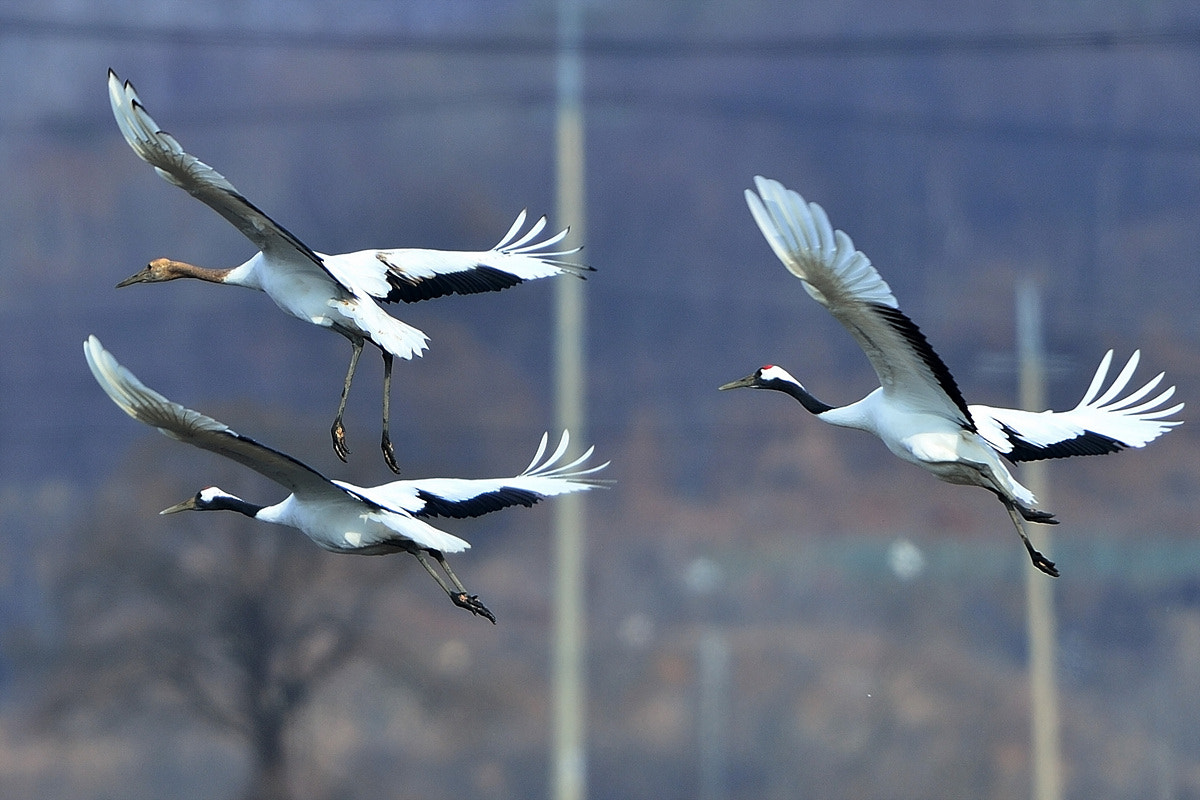 Photograph Red-crowned Crane by Young Sung Bae on 500px