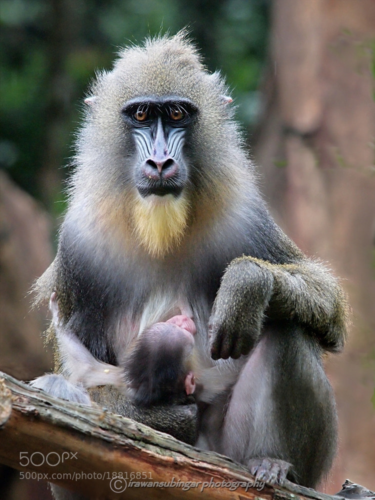 Photograph mommy mandrill by Irawan Subingar on 500px