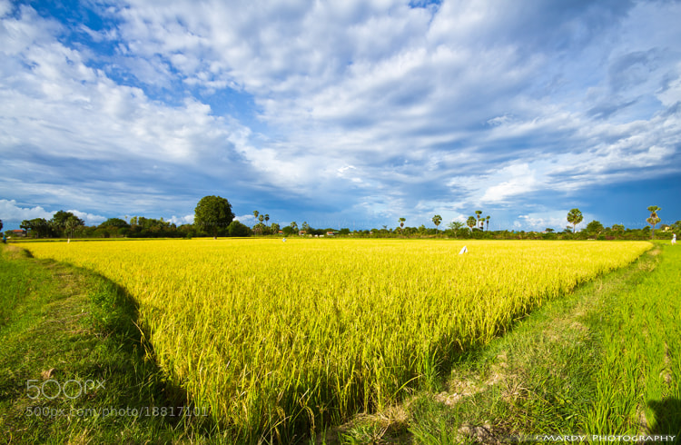 Photograph The Golden Rice Field! by Mardy Suong Photography on 500px