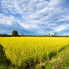 The Golden Rice Field! by Mardy Photography (Mardy)) on 500px.com