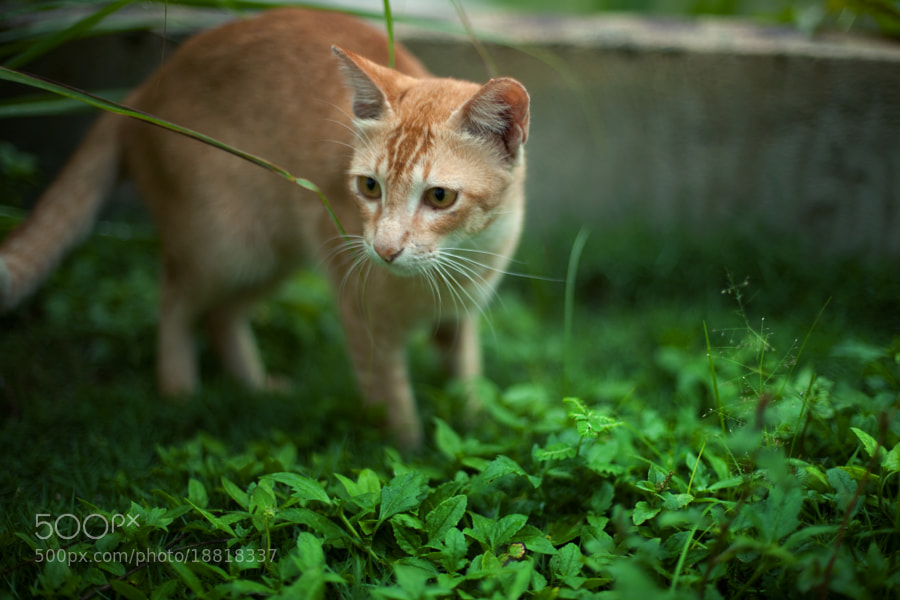 kitten by Nazrin Shah (NazrinShah)) on 500px.com