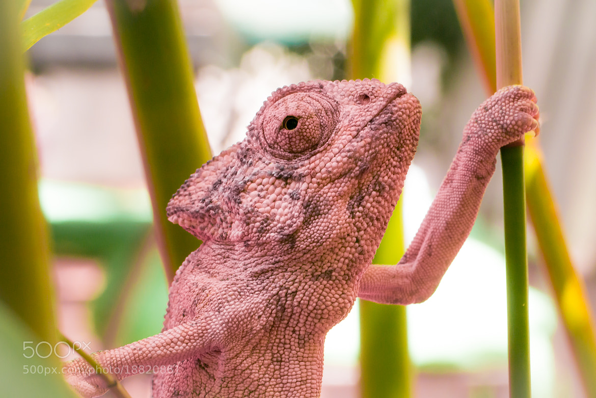Photograph The Pink Chameleon by Amine Fassi on 500px