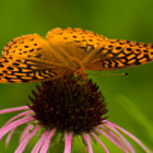 Постер, плакат: Great Spangled Fritillary
