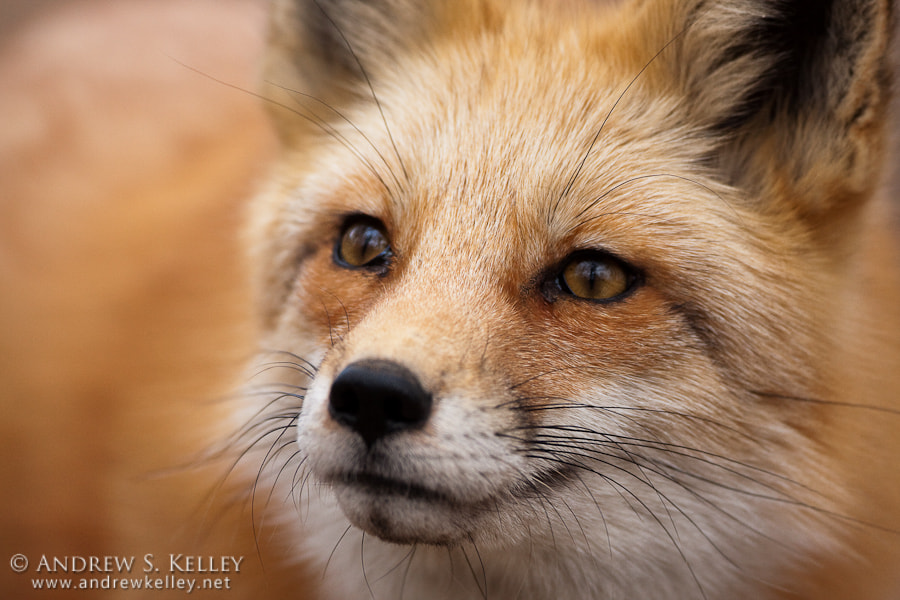 Photograph Red Fox Closeup by Andrew Kelley on 500px