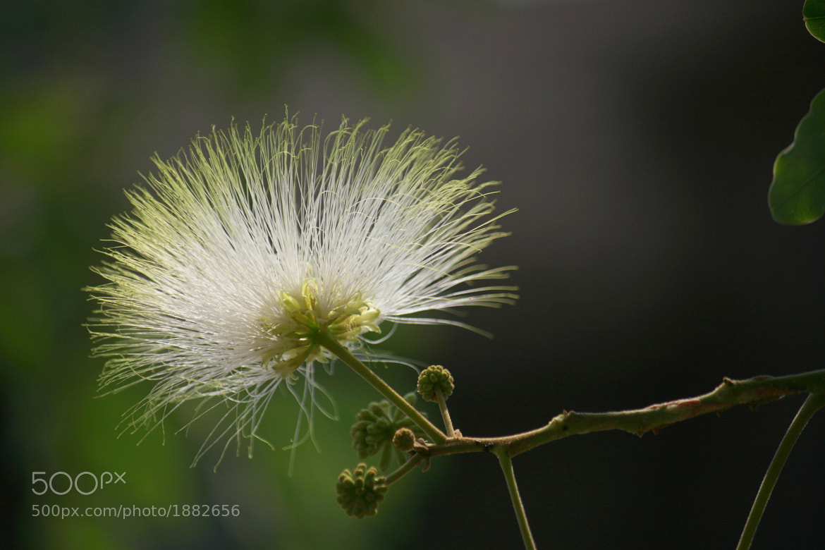 Photograph Albizia by ajinkya gadave on 500px