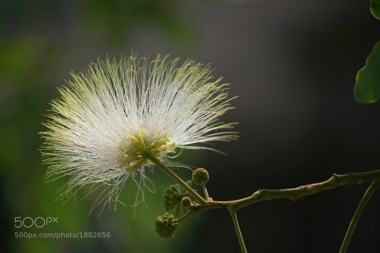 Photograph Albizia by ajinkya gadave on 500px