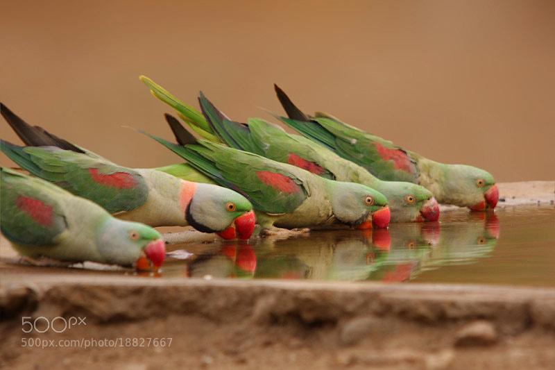 Photograph The Alexandrine Parakeet(Psittacula eupatria) by Sharad Agrawal on 500px