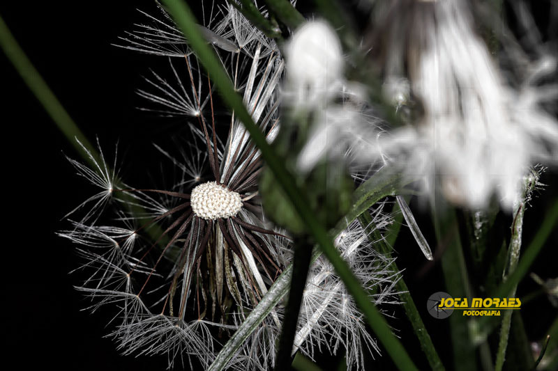 Photograph Dandelion by jota moraes on 500px