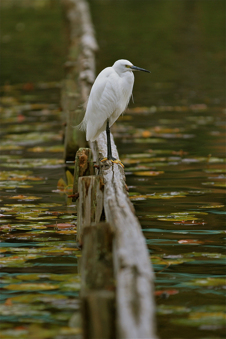 Photograph White Bird on Lily Pond by Justin Sullivan on 500px