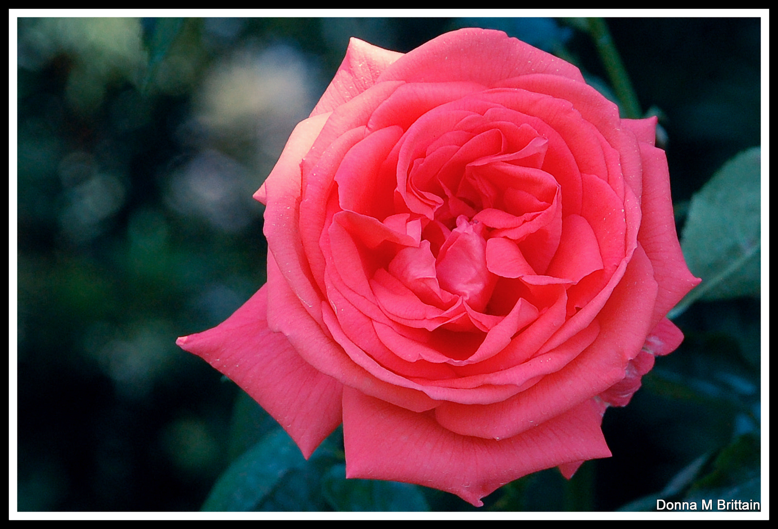 Photograph A Rose by Any Other Name is Still a Rose by Donna Brittain on 500px