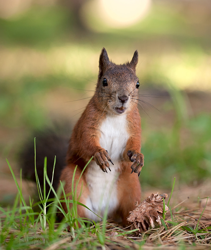 Photograph Red squirrel by Andrey Pavlov on 500px