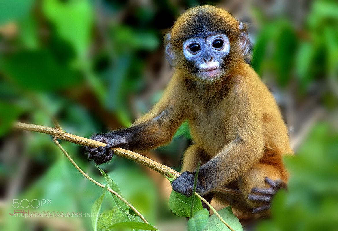 Photograph Dusky langur by Jakkaphan Hirunviriya on 500px