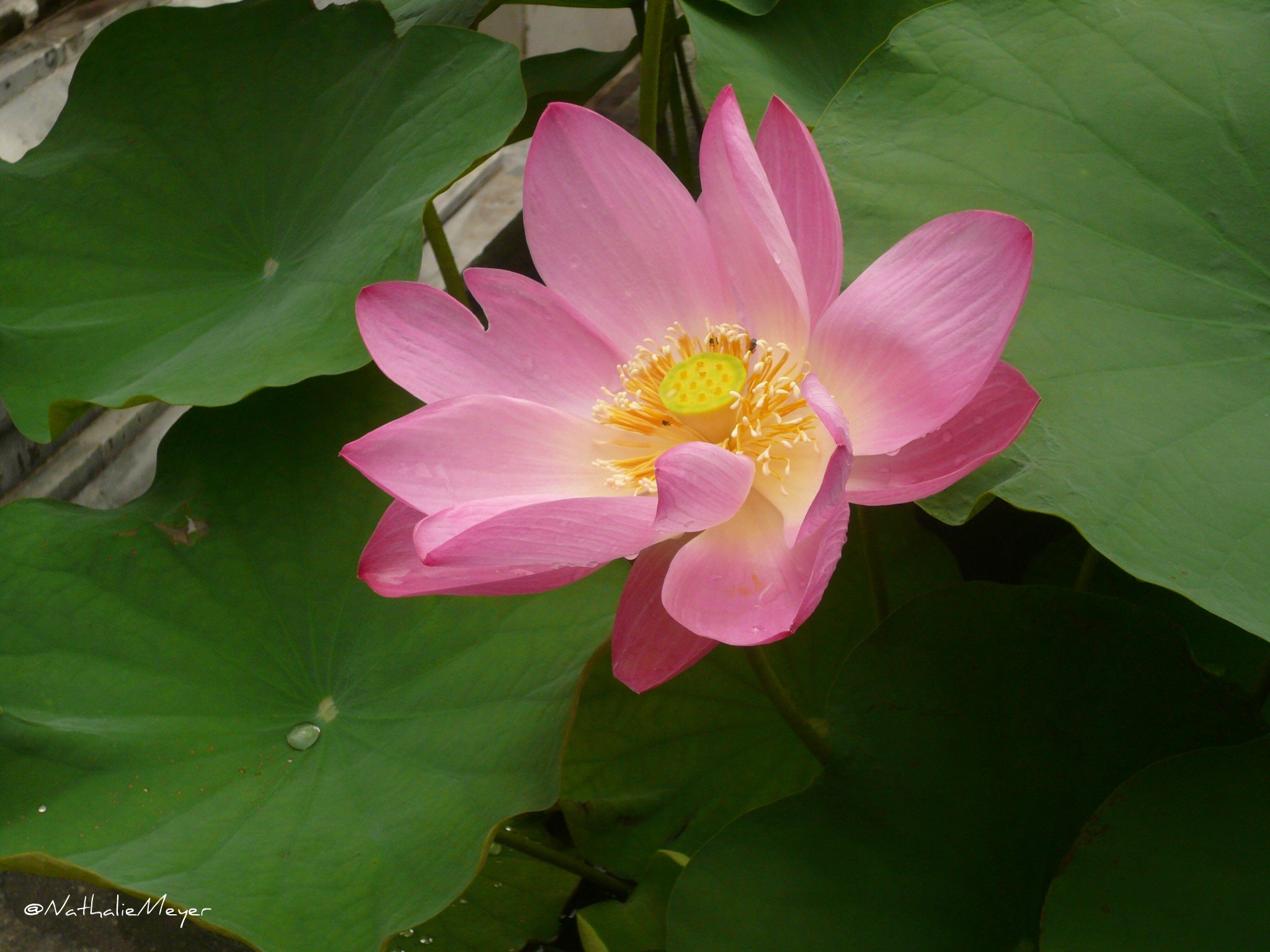 Photograph Fleur de Lotus by Nathalie Meyer on 500px