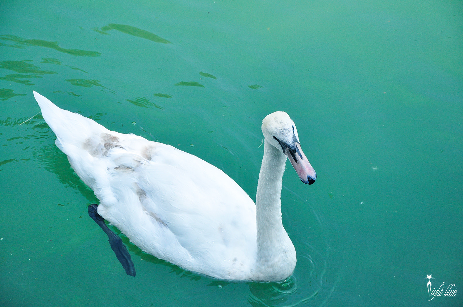 Photograph lovely swan by na shang on 500px