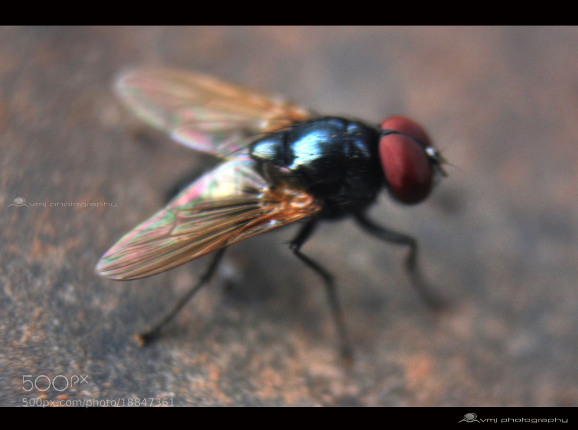 Photograph House Fly #Macro  by Vishnu M Joshi Vmj on 500px