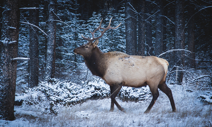 Elk in Banff by sam wirch on 500px.com