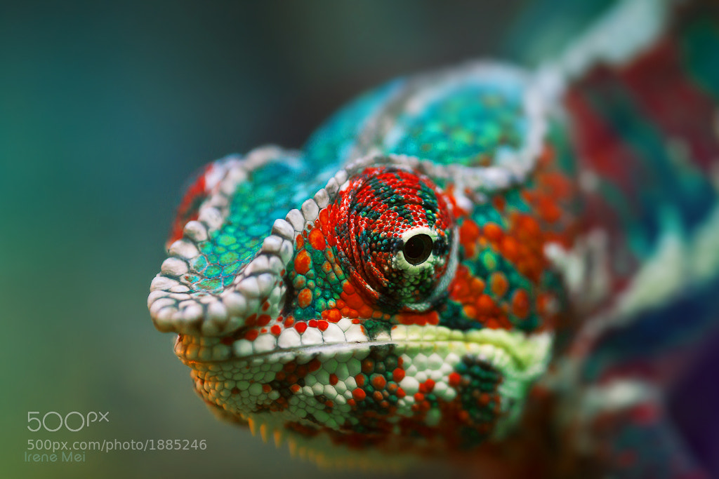 Photograph Chameleon by Irene Mei on 500px