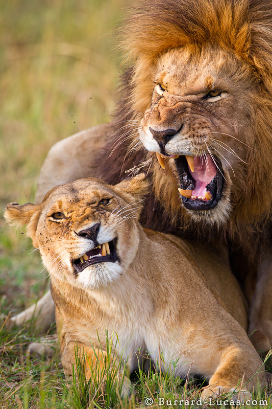 We have recently returned from a very productive trip to the Masai Mara in Kenya. Love was in the air, as we came across mating lions on a daily basis...