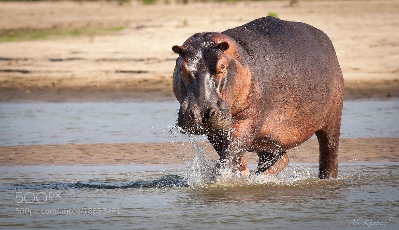 Photograph Hippo on the run... by Ali Khataw on 500px
