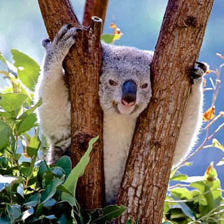 Koala Hello Hello