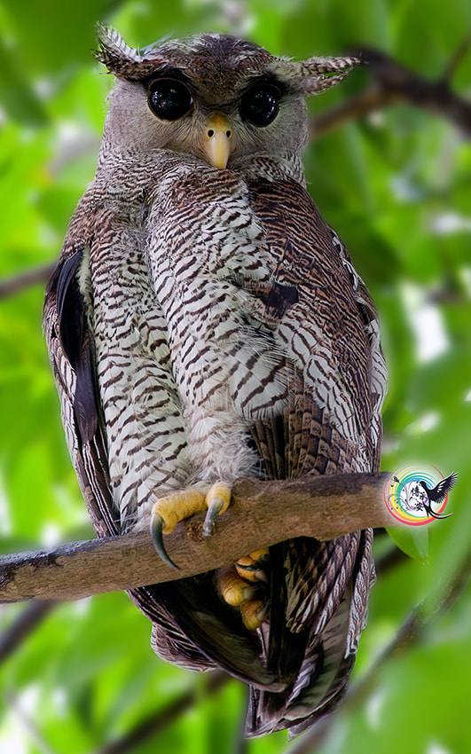 Photograph Barred Eagle OWL by Andy Fu on 500px