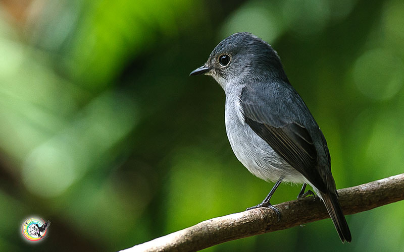 Photograph Little Pied Flycatcher (Female) 小斑姬鹟 by Andy Fu on 500px