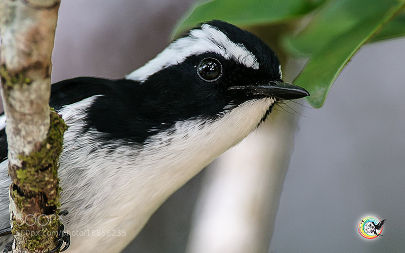 Photograph Little Pied Flycatcher (Male) 小斑姬鹟 by Andy Fu on 500px