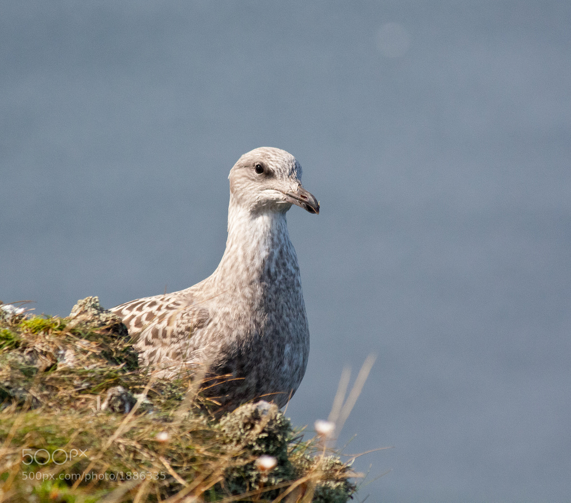 Photograph Juvenile Herring Gull by Andy Stuart on 500px