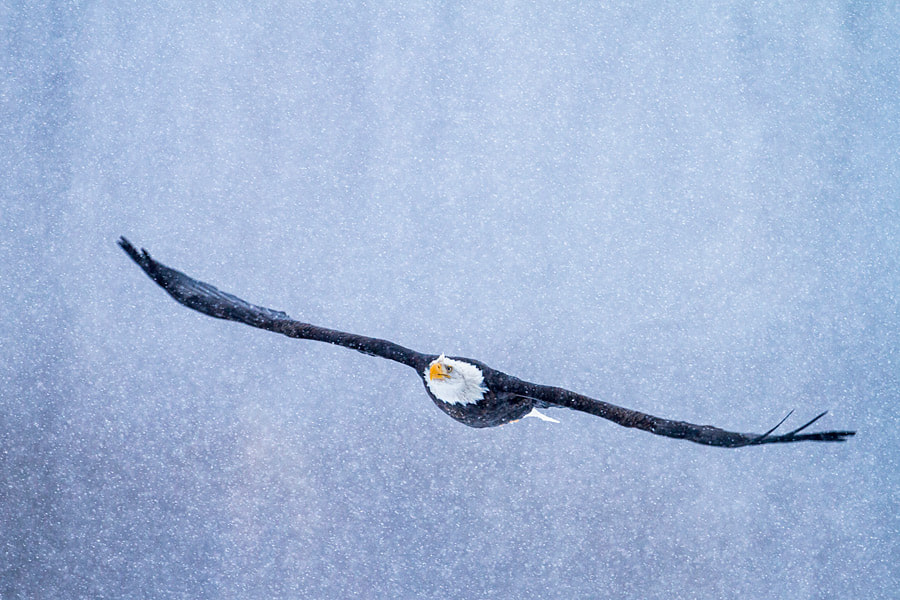 Photograph Bald Eagle flying through snowstorm by Nicolas Dory on 500px