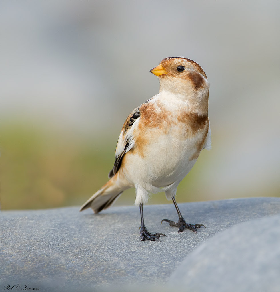 Photograph Snow Bunting by Rob Cross on 500px