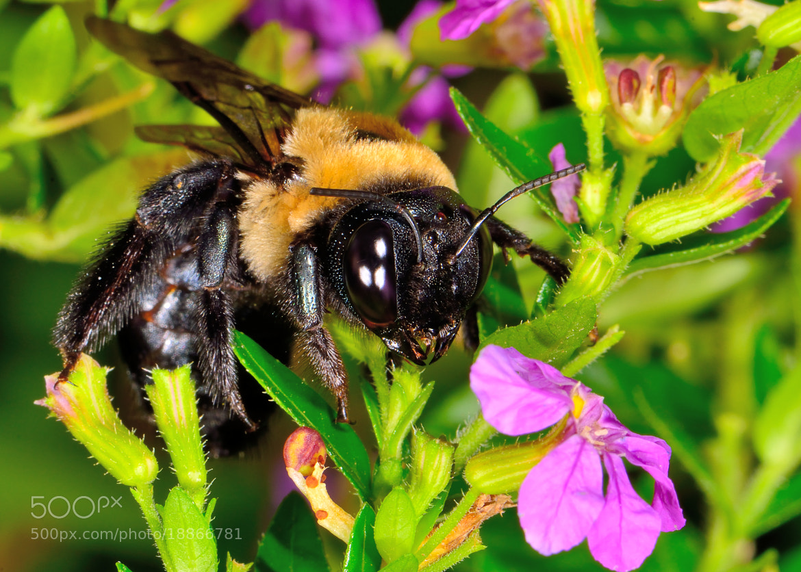 Photograph Bumble Bee by Chad  on 500px