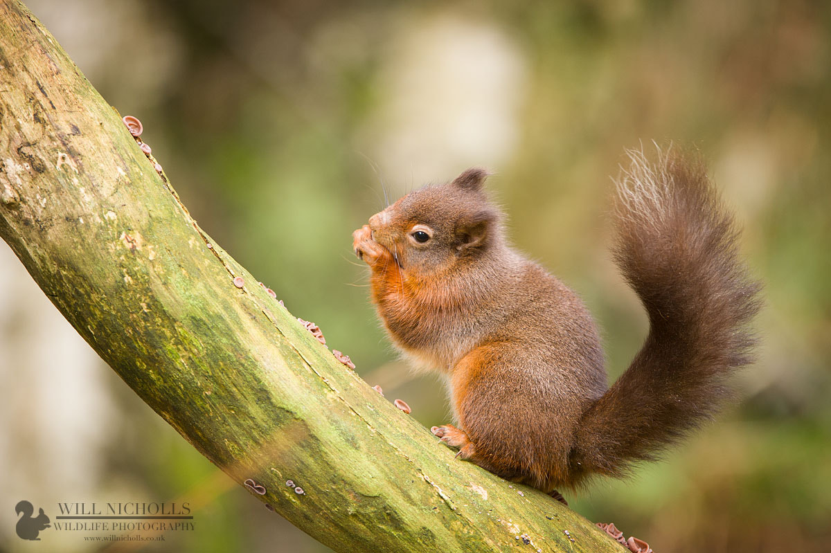 Photograph Young Red Squirrel by Will Nicholls on 500px
