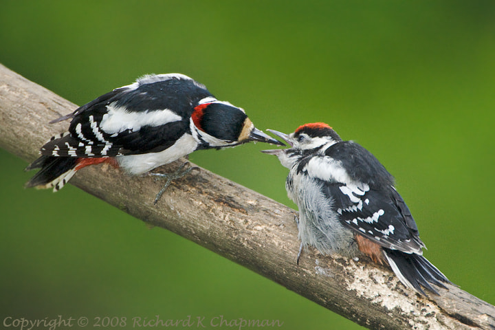 Photograph Woodpeckers by Richard Chapman on 500px