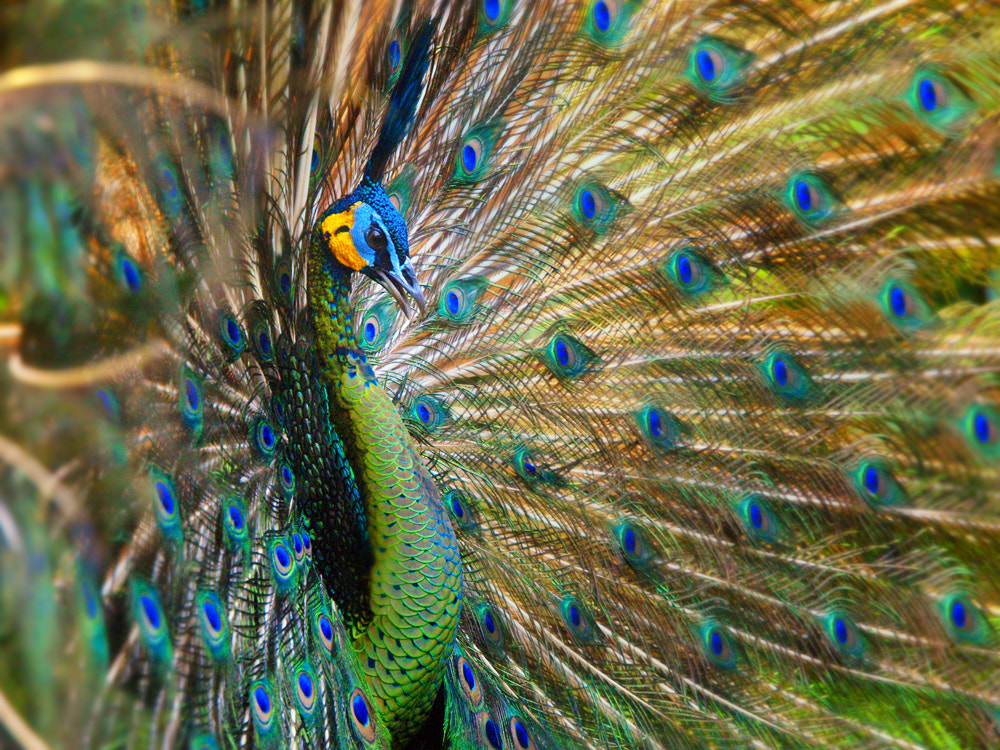 Photograph Pavo Muticus by Irawan Subingar on 500px