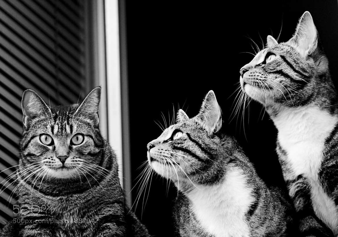 Photograph Cats in a window # 03 by Tarjei Krogh on 500px
