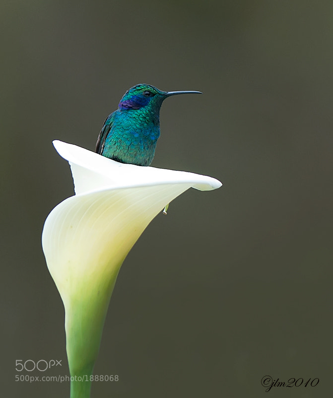 Green violet eared hummingbird from Costa Rica.  He found his own little secret place to rest.