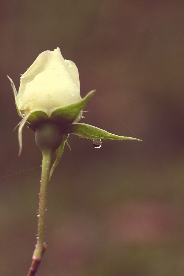 Photograph rose and drop by Marianna Lembo on 500px