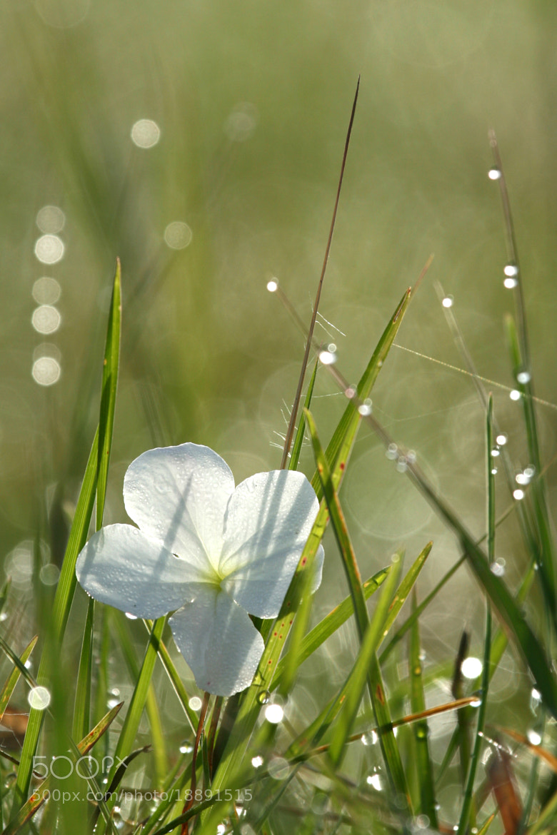 Photograph Morning Dew and White Flower, Africa by Sam D'Cruz on 500px