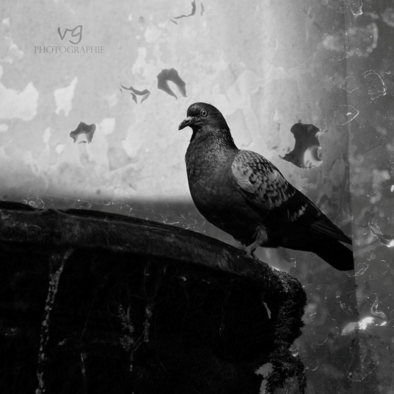 Photograph .pigeon.water. by Verena G. on 500px