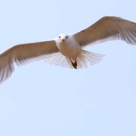 Gull - Hay River